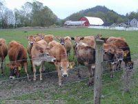 Ferndale cows