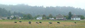 Cows in Ferndale