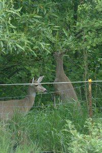 Deer eating willows