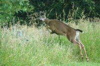 Leaping Buck