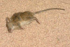 Dead mice