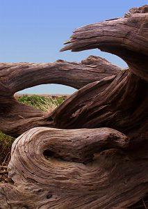 Loleta driftwood