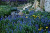 Sierra lupines