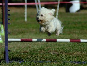 Little dog jumping