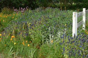 Cerinthe and Poppies