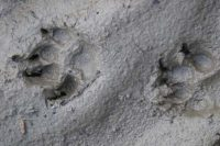 Paw prints in the mud
