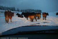 Frozen Cows