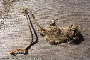 Dead mouse parts