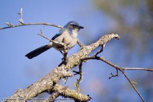 Songbird at Pinnacles