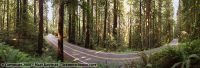 Avenue of the Giants panorama