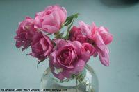 Gertude Jekyll Roses