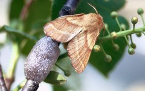 Western Tent Caterpillar egg sack and moth