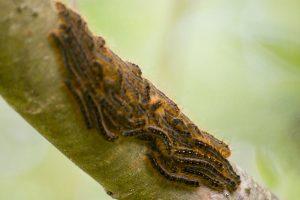 Western Tent Caterpillar colony