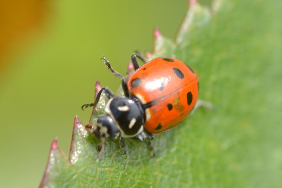 12 Spotted Ladybug