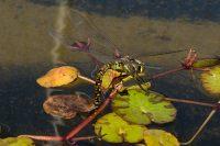 Female Blue-eyed Darner Dragonfly