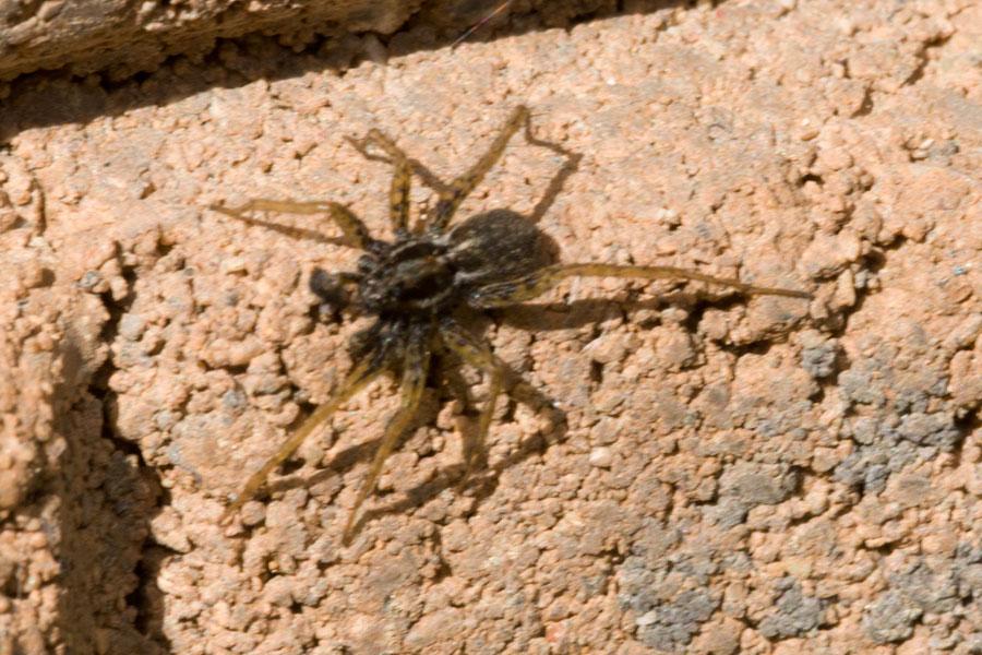 Thin-legged Wolf Spider