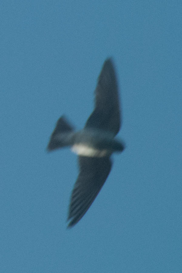 American Cliff Swallow