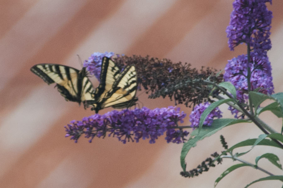 Western Tiger Swallowtails