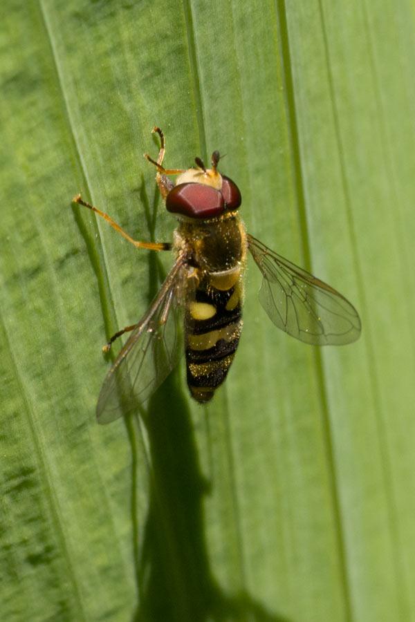 Male Eupeodes fumipennis