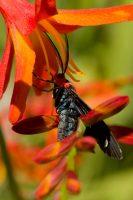 Red Shouldered Moth