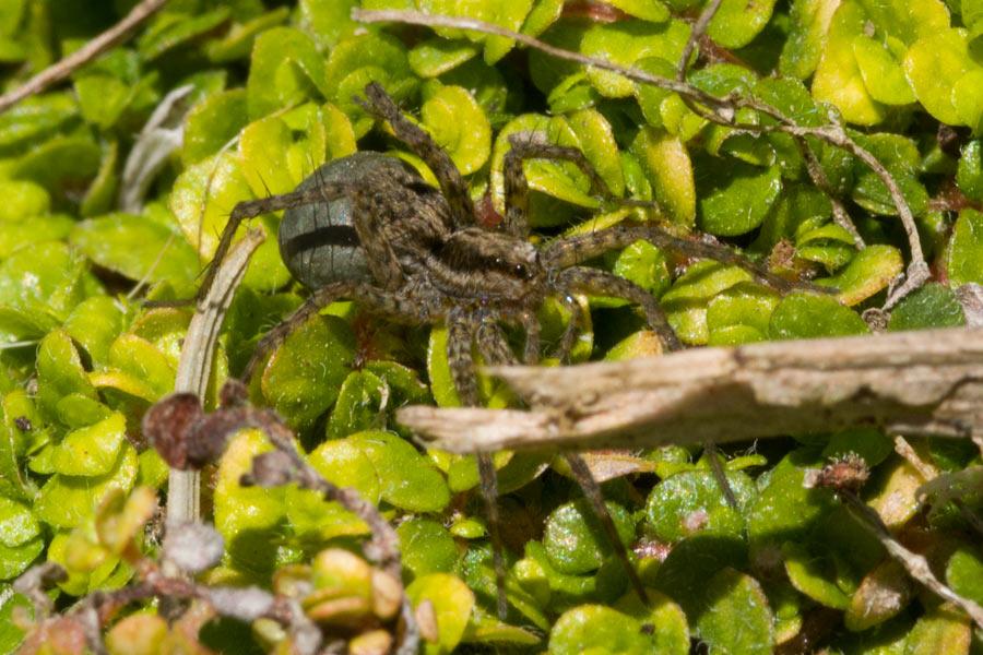 Female Thin-legged Wolf Spider carrying egg sac