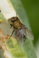Female Cluster Fly