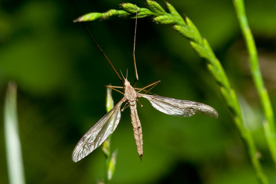 Female European Crane Fly