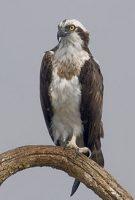 Osprey courtesy of Wikipedia