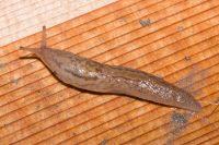 Balkan Threeband Slug