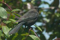 Female Brewer's Blackbird