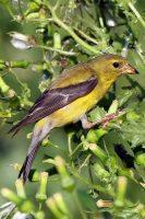 Female American Goldfinch courtesy of Wikipedia