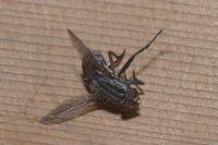Sarcophaga Fly