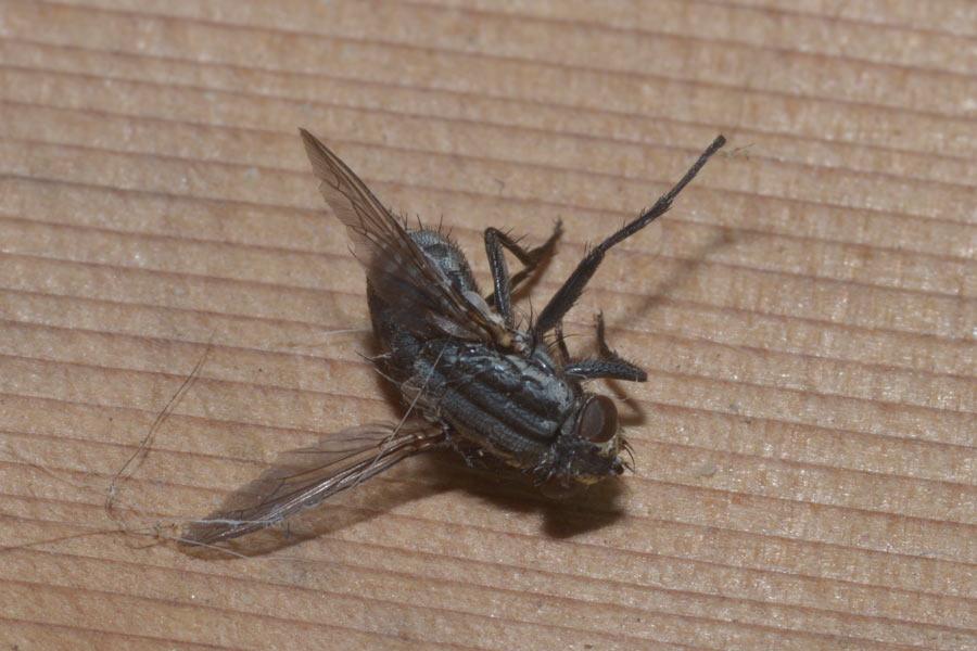 Female Flesh Fly