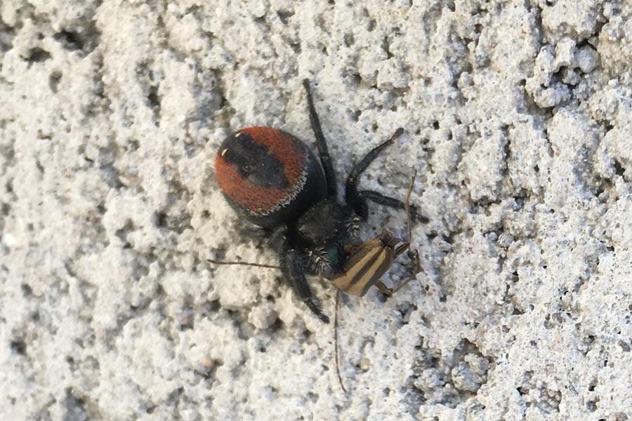 Johnson Jumping Spider