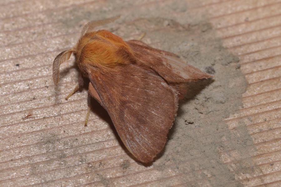 Western Tent Caterpillar Moth