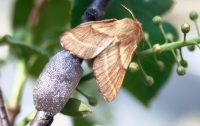 Female Western Tent Caterpillar Moth