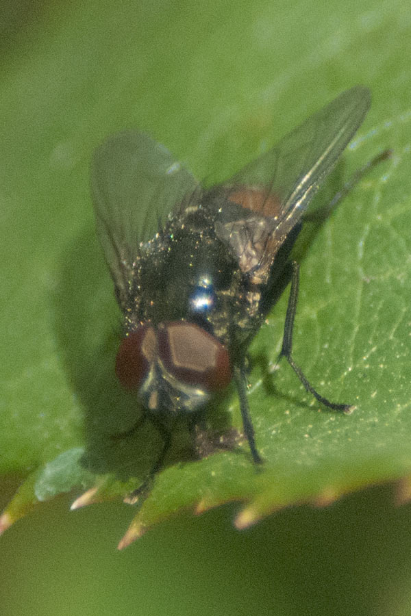 Male Autumn Fly