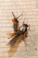 Black Slip Wasp