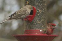 Purple finch female & male