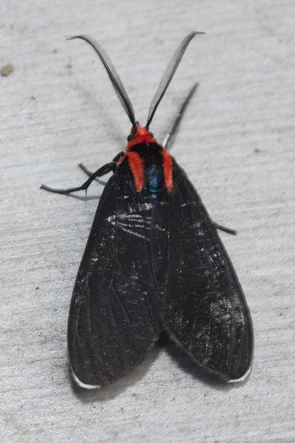 Red-shouldered Moth