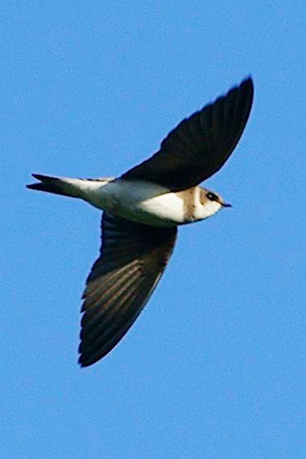 Bank Swallow courtesy of Wikipedia