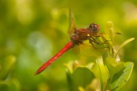 Male Cardinal Meadowhawk Dragonfly