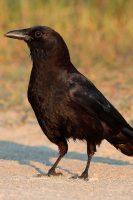American Crow courtesy of Wikipedia