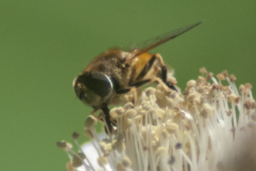 Common Drone Fly