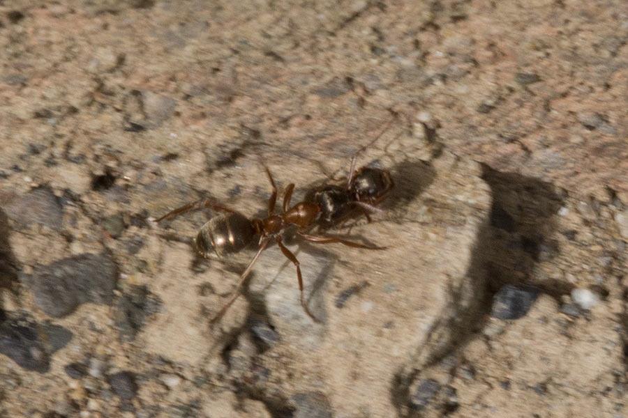 Formica Ant & Prey