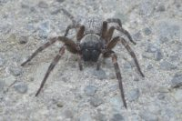 Grey House Spider