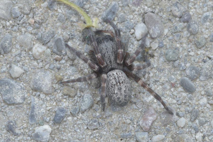 Grey House Spider