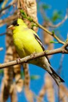 Male American Goldfinch courtesy of Wikipedia