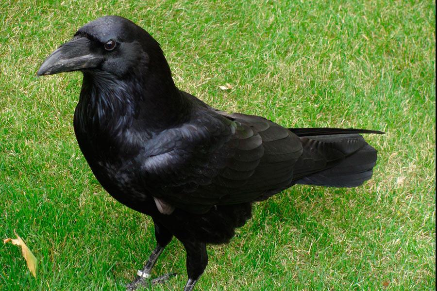 Common Raven courtesy of Wikipedia