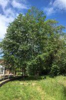 Red Alder Tree